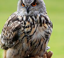 European Owl by Nigel Donald
