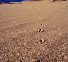 Emu Tracks by Steve Chapple