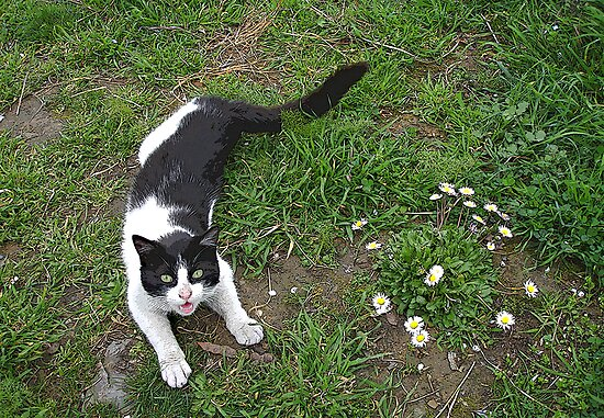 Playful cat with daisies by nikib