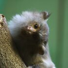 Black Tailed Marmoset by Sheila Smith