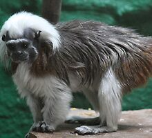 Cotton Top Tamarin by Sheila Smith