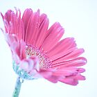 Cool Pink Daisy by Bobby Acree