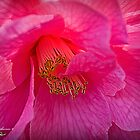Camelia Japonica by Maggiebee