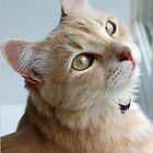 Cream Angora cat by nikib