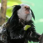 Geoffroy's marmoset by Sheila Smith