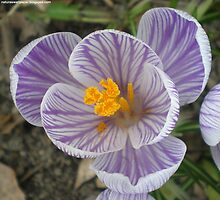 Purple And White Crocus Macro by 1greenthumb