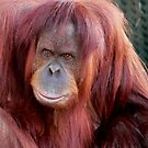 Orang Utan Melbourne Zoo by Tom Newman