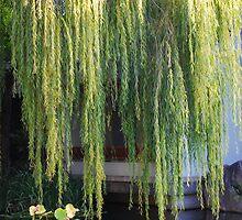 Golden Willow by Kym  Breeze