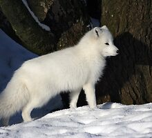 Arctic Fox. by Roddy Atkinson