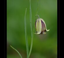 Fritillaria by orchiddesign