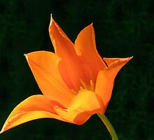 Orange Lily by Linda More