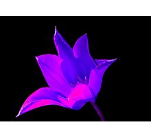 Vibrant Purple and Pink Lily Photographic Print