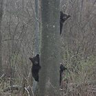 Black Bear Cubs by Molly  Kinsey