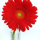 red gerbera by karen tenni