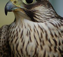 Falcon Head by ApeArt