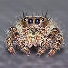 &quot; Don King&quot; Jumping Spider by robkal