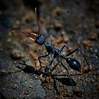 Bull Ant by Ian English