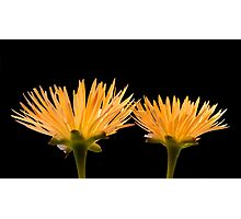 Golden Ice Plant Photographic Print