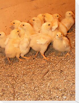 baby chicks by rebecca smith