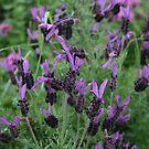 Lavender by jamesrattray