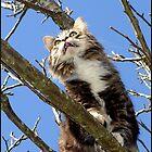 Maine Coon Cat by Koala