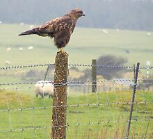 buzzard on the cornish moors (reworked) by Jonathan France