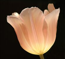 Peach Tulip by Kathleen Struckle