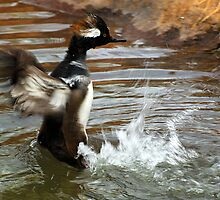 Hooded Merganser by Dennis Jones - CameraView