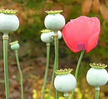 Poppy Popularity by Deanna Roberts Think in Pictures
