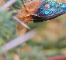 Blue Headed Lizard - Peeking Out Sticker