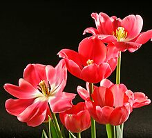 Tulip Cluster by Sheryl Kasper