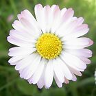 daisy by moondance