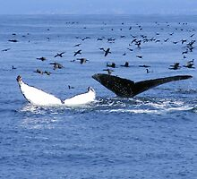Two Humpback Whales & Diving Birds At Monterey Bay California by KristaLynn1807