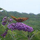 Orange Butterfly on the Butterfly Bush - photo 1 by Jane Neill-Hancock