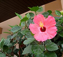 A Hibiscus Tree In The Middle Of the Sidewalk by Jane Neill-Hancock