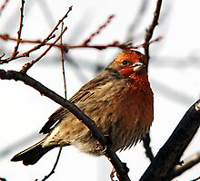 House Finch - Insulated by Ryan Houston