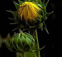 Sunflower by Janos Sison