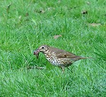 Song Thrush by Sharon Perrett