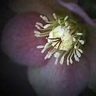 Hellebore by jenndes