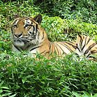 crouching tiger by indocarp