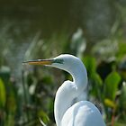 GREAT EGRET by Howard & Rebecca Taylor