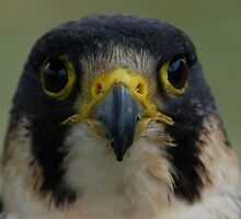 Falcon Face by ApeArt