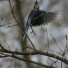 Blue Jay bird in flight by turkeylegs