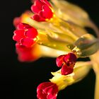 Red Cowslips by Tim Fenton