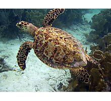 Hawksbill turtle Photographic Print