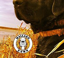 Black Lab in Reeds - Mallard Down by mallarddown