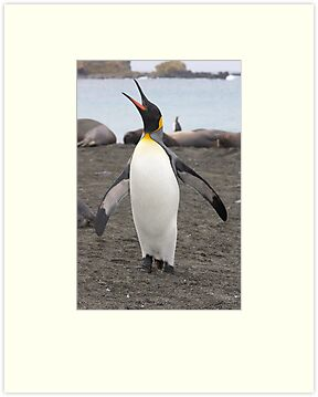 "King Penguin ~ ""Pavarotti    ♫♫ ♪ ♪ ♬ "" by Robert Elliott"