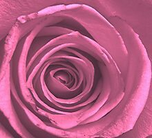 Hot Pink Rose by Stephen Thomas