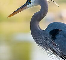 Ardea Herodias by Marvin Collins