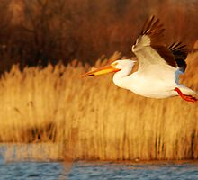 American White Pelican - Take Off by Ryan Houston